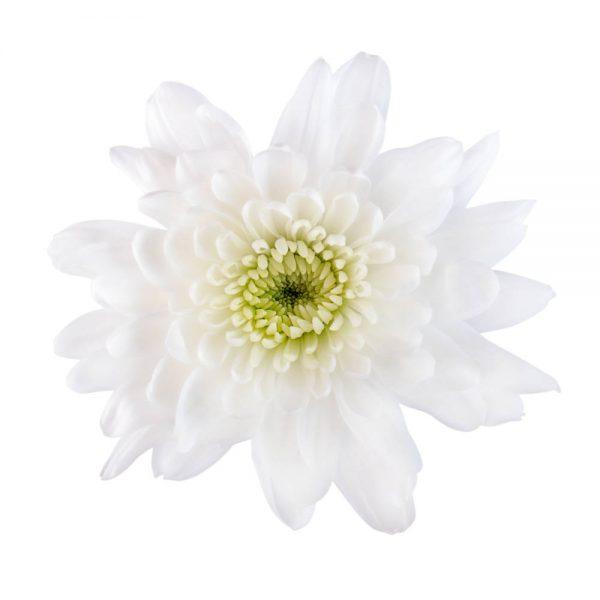 Artic Queen flower