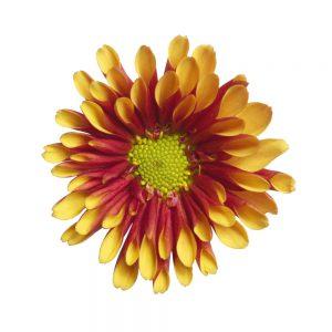Dion flower