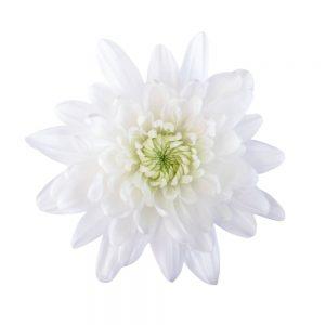 Maisy flower