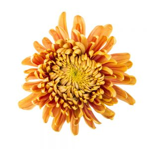 Resouci flower