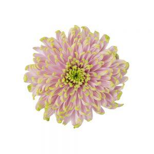 Rossano charlotte flower