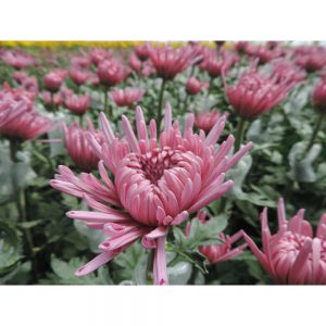 flower in Uniflor's farm
