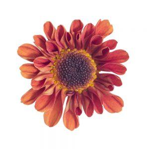 Orange Vyking flower