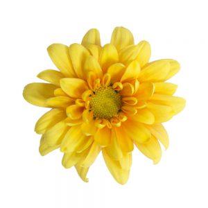 Paloma flower