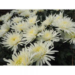 white fuji flower in Uniflor's farm