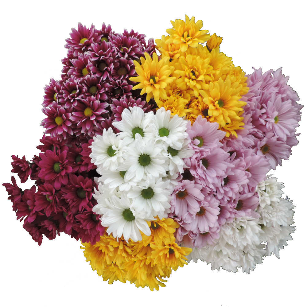 assorted daisy