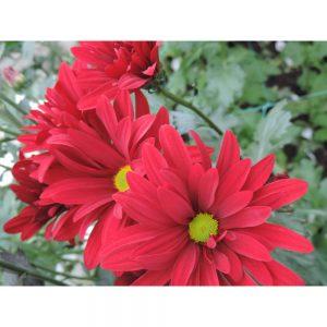 red daisy flower in Uniflor's farm