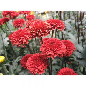 red button flower in Uniflor's farm