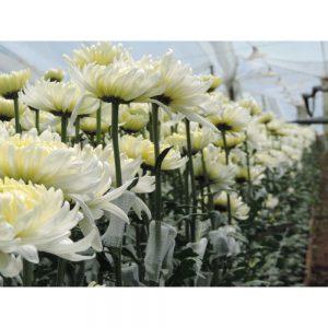 white cremon flower in Uniflor's farm