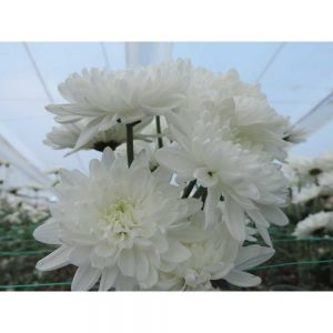white cushion flower in Uniflor's farm