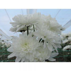 white cushion flower in Uniflor's farm
