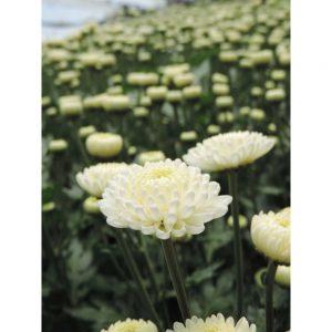 white button flower in Uniflor's farm