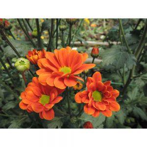 orange daisy flower in Uniflor's farm