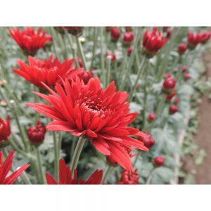 rock red cushion flower in Uniflor's farm