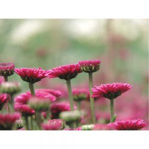 purple button flower in Uniflor's farm
